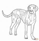 Coloring Dog Pages Dogs Hound Hunting Plott Drawing Coon Lab Outline Mastiff Fox Print Printable Whippet Realistic Template Superhero Basset sketch template