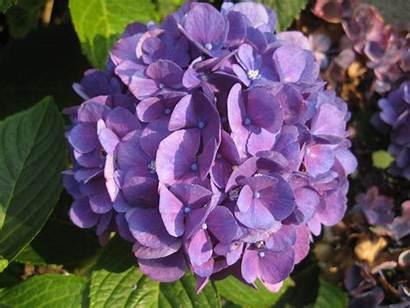 Hydrangea Purple Resolution Wallpapersafari Wallpapers