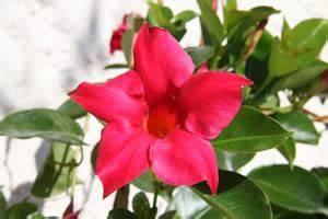 Pflanze Mit Roten Blüten : dipladenia mandevilla sundaville pflege berwintern ~ Eleganceandgraceweddings.com Haus und Dekorationen