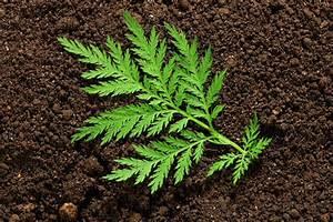 Artemisia annua Agro Slide Bank