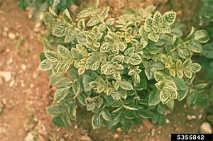 potato leaf roll virus polerovirus plrv on potato