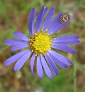 Purple Native Aster Flower