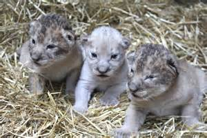 White Lion Cubs Omaha Henry Doorly Zoo