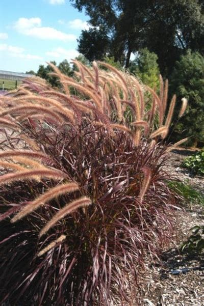 pennisetum setaceum rubrum purple grass tender purple fountain grass pennisetum setaceum rubrum
