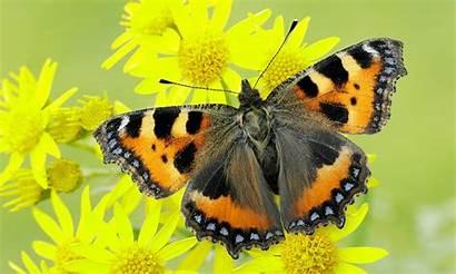 Tortoiseshell Butterfly Butterflies Conservation Nectar Urticae Aglais