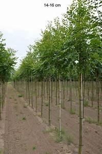 Bäume Für Trockenen Boden : kleinkroniger baum gold blasenbaum f r trockenen boden kaufen ~ Lizthompson.info Haus und Dekorationen