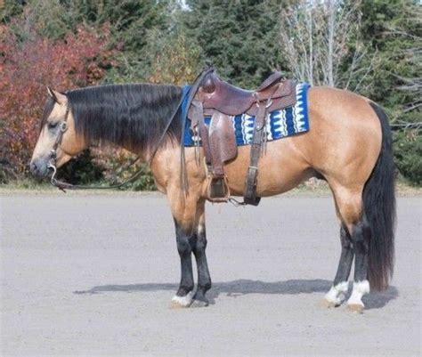 horses horse cow quarter bred rope cattle american ad ranchworldads classifieds stallion gorgeous information
