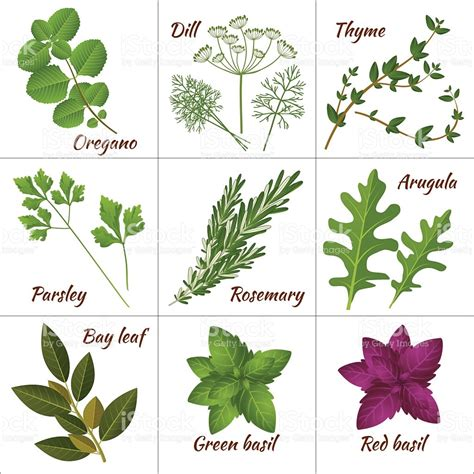 plantes aromatiques cuisine various illustration of culinary and medicinal herbs stock