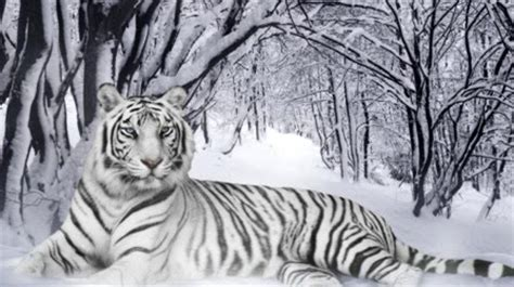 Top 10 Best Rare White Tiger Pictures & Wallpapers