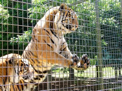 zoo zoos animal animals captivity hurt mogo cruelty help many cage tigers why debate educate 2281 2003 different going controversy