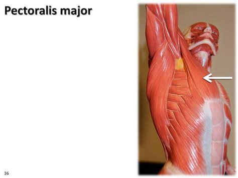 Diagram Pectorali Major by Pectoralis Major Latissimus Dorsi From Below The Armpit
