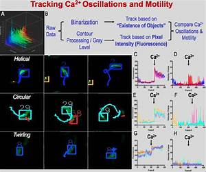 Manual Tracking Result A  Calcium Oscillations Vs  Time Vs