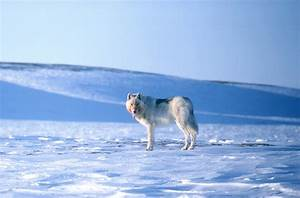 Arctic wolf. | pgcps mess - Reform Sasscer without delay.  Arctic