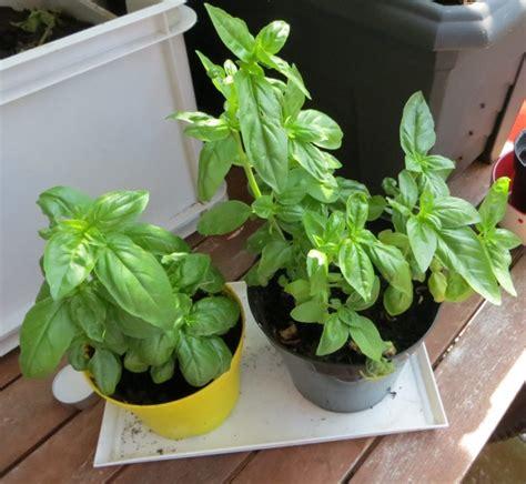 basilic en pot entretien 28 images basilic faire pousser de la coriandre en pot jardinage