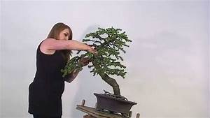 Kiefer Bonsai Erstgestaltung Shop Gartenbonsai Kiefer Kiefer40