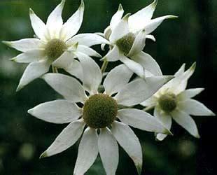 fiori di bush fiori di bush o australiani immagini