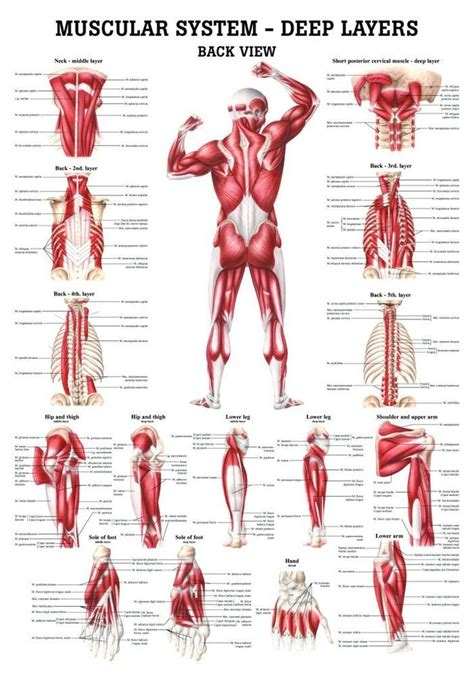 Digestive system helps in breaking complex food into simpler forms. The Muscular System - Deep Layers, Back Laminated Anatomy ...