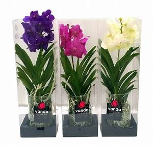 Orchidee Vanda Pflege : vanda michelle 20 in geschenkbox florastore ~ Lizthompson.info Haus und Dekorationen