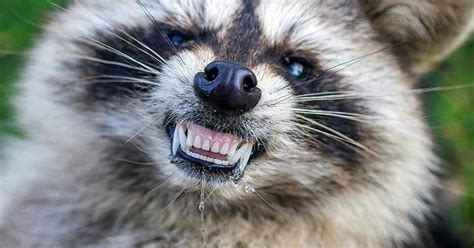 zombie  raccoons terrorize ohio town cbs news