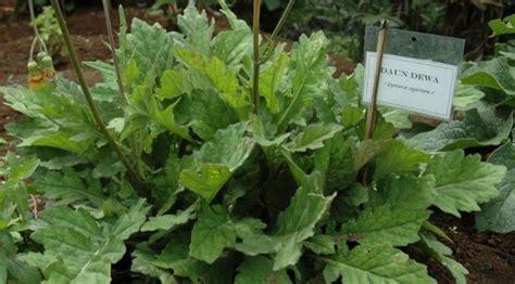 tanaman apotek hidup manfaatnya part viral