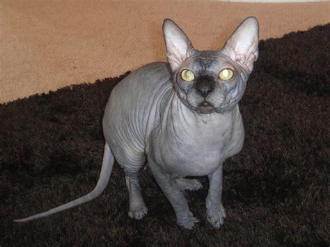 sphynx cat names