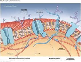 Cell Membrane Model