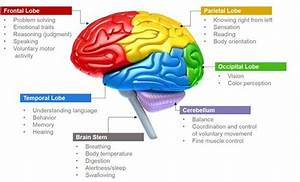 Parts Of Brain And Its Functions  With Images