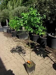 Welche Erde Für Palmen : zitronenlust onlineshop f r mediterrane pflanzen und b ume schwarzer maulbeerbaum morus nigra ~ Watch28wear.com Haus und Dekorationen
