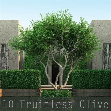 fruitless olive tree growth rate trunk 10 tree 3d model