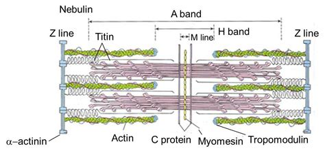 muscle sarcomere muscles line band histology immunity ahl actin draw regions contraction skeletal front studyblue flashcards found