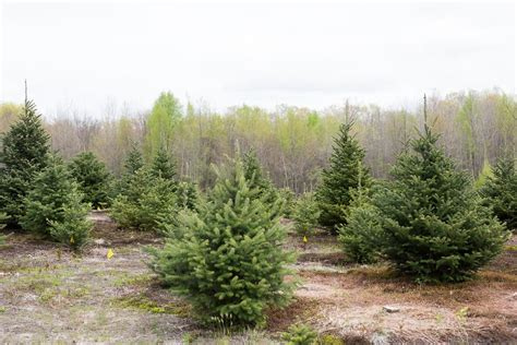 massachusetts christmas tree farms photo albums perfect