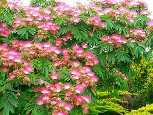 Mimosa Résistant Au Froid : mimosa trees exotic aromatic and potentially threatening dengarden ~ Melissatoandfro.com Idées de Décoration
