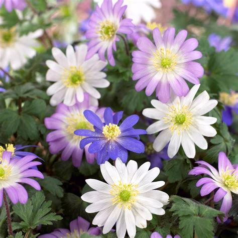 grecian windflowers growing tips anemone blanda mixed bulbs grecian windlowers mix easy to grow bulbs