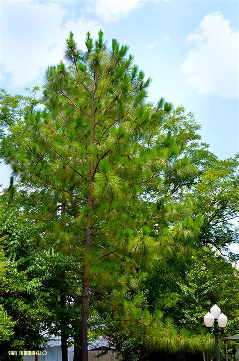 Panoramio  Photo Of A Beautiful Alabama State Tree The. Event Tickets Template. Best Reason For Resignation Letter. Preschool Teacher Job Description Template. Electrical Contractor Invoice Template 752103. Student Resume Samples No Experience Template. What Are Stem Majors Template. Thank You For Your Business Email. Make A Fake Degree Template