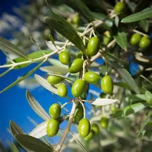 olivenbaum balkon olivenbaum düngen wann wie und womit