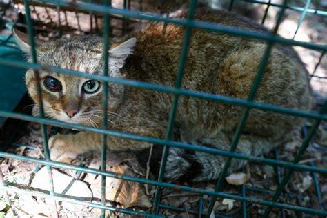 extraordinary cat fox animal believed     species