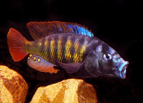 cichlid stones ornamental aquarium caves