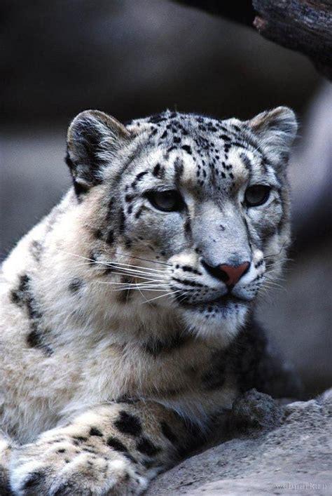 Dzīvnieku apskats: sniega leopards - Spoki