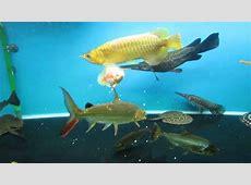 Gambar Tato Keren Ikan Koi Die Bilder Coleection