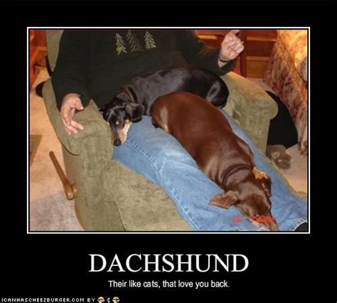 Dachshund Memes - cats jokes and funny pictures on pinterest