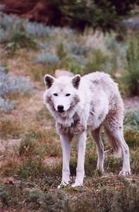 White Wolfdog Puppies | www.imgkid.com - The Image Kid Has It!