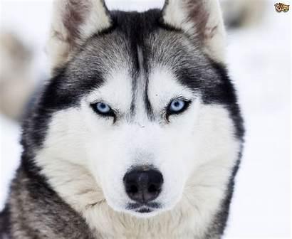 Husky Dogs Wiki Dog Puppies Huskies Alaskan
