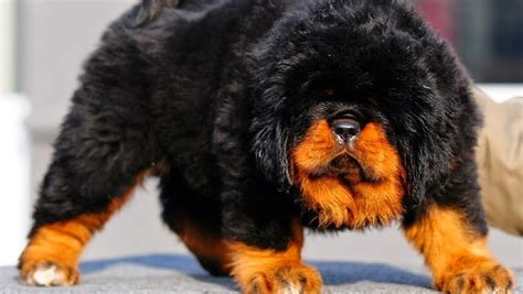Woof 5 Stupidly Expensive Dog Breeds From Around The World