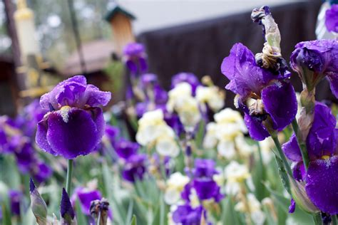 Gambar : mekar menanam ungu botani Flora warna