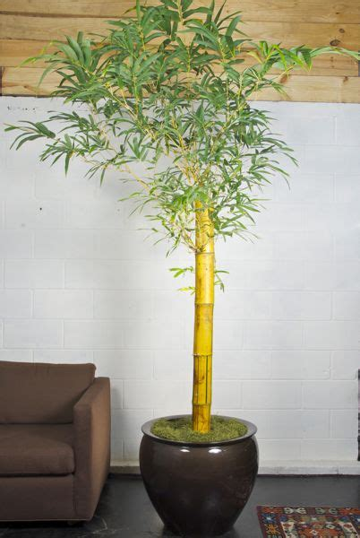 how to prune an indoor bamboo plant zozeen