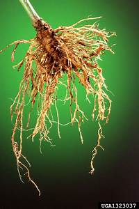 Natural Light Strawberry Southern Root Knot Nematode Meloidogyne Incognita On
