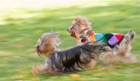 yorkshire terrier hunde infode