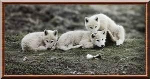 Bébé Loup Blanc : loup arctique canis lupus arctos ~ Farleysfitness.com Idées de Décoration