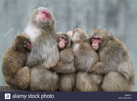Japanese macaque, snow monkey (Macaca fuscata), group of