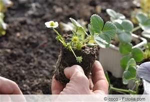 Ab Wann Erdbeeren Pflanzen : erdbeerpflanzen setzen welche erde d nger und pflanzzeit ~ Eleganceandgraceweddings.com Haus und Dekorationen